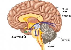 agyvelő