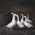 six white goose